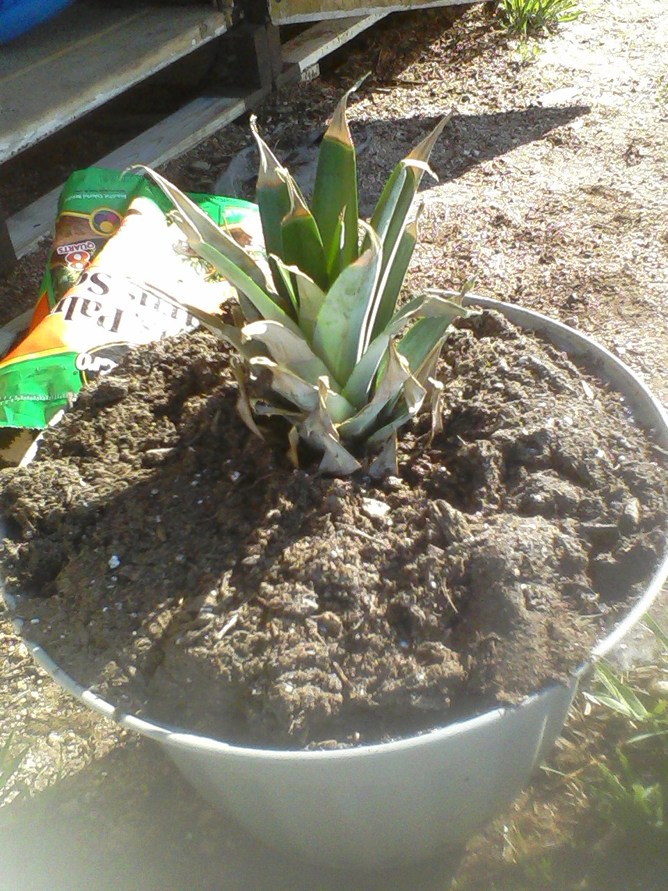 How to grow a pineapple home schooling in the burbs for How to plant a pineapple top in a pot